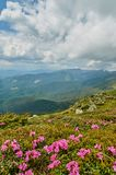 Rhododendron blooming flowers in Carpathian mountains on the blurred foreground. Chervona Ruta. Mountains landscape background. Nature beauty Royalty Free Stock Images