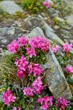 Rhododendron blooming flowers in Carpathian mountains on the wild stones. Chervona Ruta. Pink rare flowers background royalty free stock photos