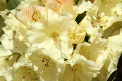 Rhododendron blooming Stock Images