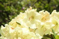 Rhododendron blooming Stock Photography