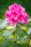 Rhododendron. Blooming rhododendron in the garden Royalty Free Stock Photo