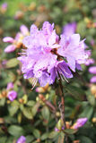 Rhododendron Royalty Free Stock Image