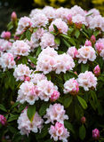 Rhododendron. Blooming pink Rhododendron. Photo taken with shallow depth of field and soft focus lens (vintage lens Helios Royalty Free Stock Photo
