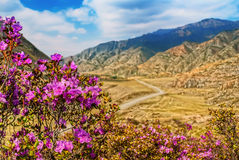 Rhododendron blooming in siberian mountains. Royalty Free Stock Photography