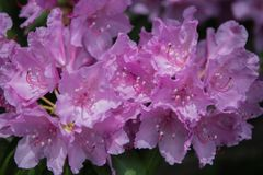 Rhododendron Blooms in Spring in North Carolina mountains Stock Photo