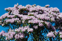 A Rhododendron blosoom in the garden Royalty Free Stock Images