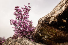 Rhododendron blossom in Altay Stock Image