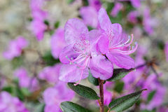 Rhododendron blossom in Altay Royalty Free Stock Photo