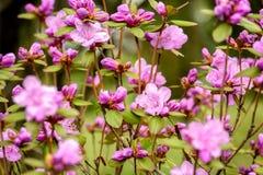 Rhododendron blossom bush Stock Image