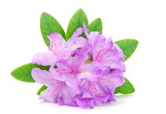 A rhododendron blossom Stock Photography