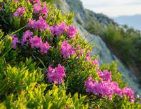 Rhododendron blossom royalty free stock images