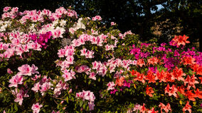 Rhododendron blossom in Taipei, Taiwan Royalty Free Stock Photos