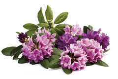 Rhododendron blossoms (Rhododendron) Royalty Free Stock Photography