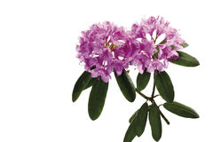 Rhododendron blossoms (Rhododendron) Royalty Free Stock Photos