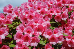 Rhododendron. Blossoms in sunny spring day Royalty Free Stock Photos