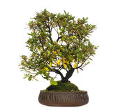 Rhododendron bonsai tree, isolated Royalty Free Stock Photography
