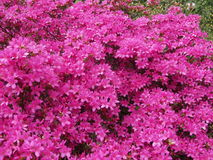 Rhododendron - botanisk trädgård Wien Arkivfoto