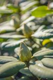 Rhododendron bud from close. Closeup of a rhododendron bud on a sunny day in the beginning of the spring season Royalty Free Stock Image