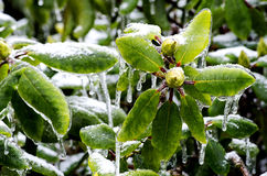Rhododendron bud trapped in ice Royalty Free Stock Image