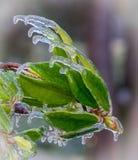 Rhododendron Bush überstürzte vom Eis Stockfotos