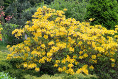 Rhododendron. Bush in the Botanical garden of Kaliningrad Stock Photography