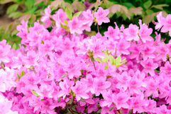 Rhododendron bush Royalty Free Stock Photography