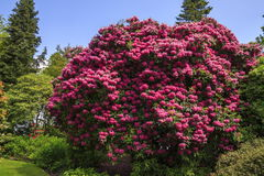 Rhododendron. A Rhododendron bush in full bloom Stock Photography