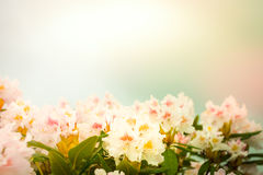Rhododendron bush with pastel colors Stock Images