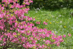 Rhododendron bush Royalty Free Stock Images