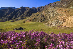 Rhododendron bushes on the background of the beautiful mountain Stock Photo