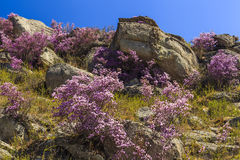 Rhododendron bushes on the background of the beautiful mountain Stock Photography