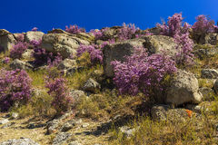 Rhododendron bushes on the background of the beautiful mountain Stock Photos