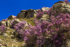 Rhododendron bushes on the background of the beautiful mountain Royalty Free Stock Photos
