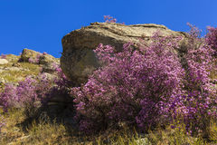 Rhododendron bushes on the background of the beautiful mountain Royalty Free Stock Photography