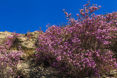 Rhododendron bushes on the background of the beautiful mountain Royalty Free Stock Images