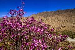 Rhododendron bushes on the background of the beautiful mountain Royalty Free Stock Photo