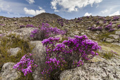 Rhododendron bushes on the background of the mountain Stock Images