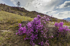 Rhododendron bushes on the background of the mountain Royalty Free Stock Photos