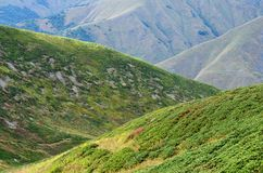 Rhododendron bushes in Caucasus mountains,Svaneti,Georgia Royalty Free Stock Photo
