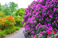 Rhododendron bushes on garden landscape Stock Images