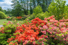 Rhododendron bushes on spring garden landscape. Rhododendron bushes in spring botanical garden, Riga, Latvia Royalty Free Stock Photo