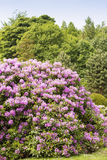 Rhododendron bushes Stock Photo