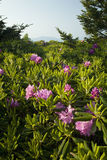 Rhododendron, calvo redondo, TN-NC fotografia de stock royalty free