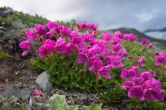 Rhododendron camtschaticum Pall. Rhododendron camtschaticum on the volcano Kamchatka stock photos