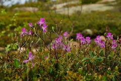 Rhododendron canadense  he rhodora purple flowering shrub clos Stock Photography