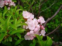 Rhododendron Canescens - wilde Azalee Lizenzfreies Stockfoto