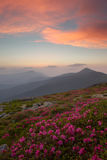 Rhododendron in the Carpathian mountains and dramatic sky Stock Photos