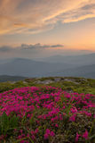 Rhododendron in the Carpathian mountains and dramatic sky Royalty Free Stock Photos