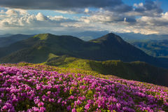 Rhododendron in the Carpathians Stock Photos