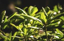 Rhododendron catawbiense Blätter schließen oben lizenzfreies stockfoto